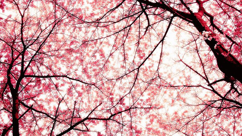 cerejeira-jordao-campos