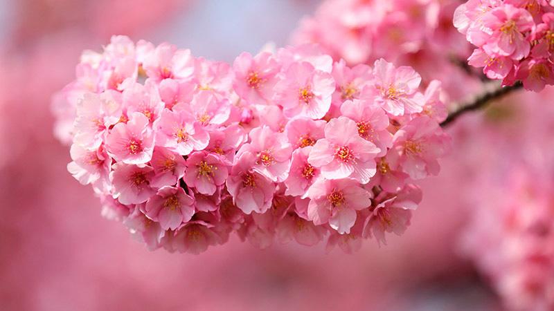 flor-cerejeira