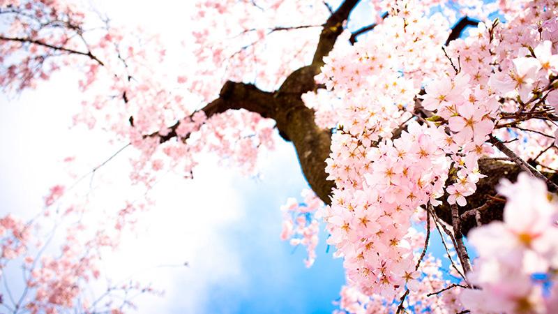 sakura-flor-cerejeira