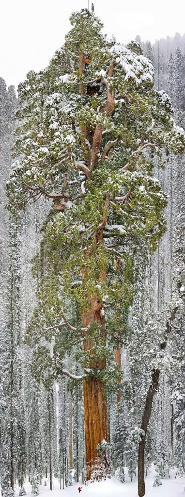 sequoia-california